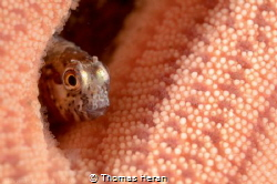 A little shy! Picture taken in Punta de Parra, Talcahuano... by Thomas Heran